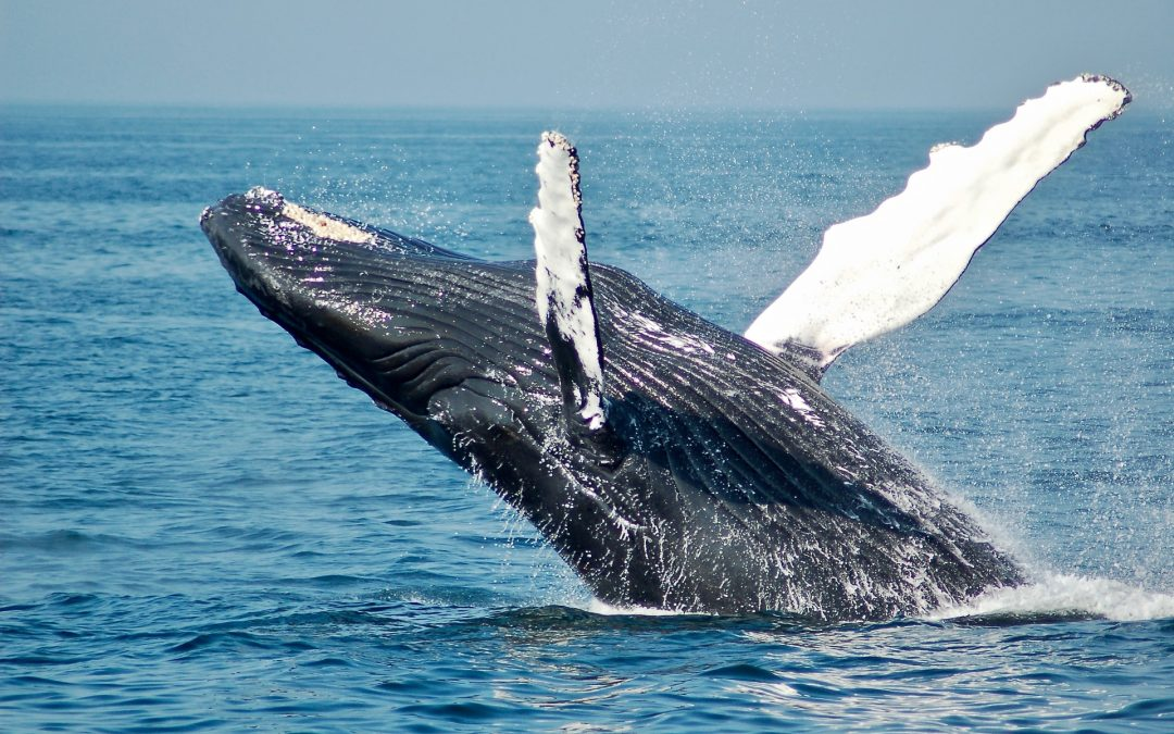 Head to Boston's Harbor for the Whale Watching Season